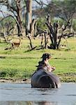 Yawning Hippo (Hippopotamus amphibius)