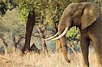 African elephant - Loxodonta africana - Bull walking at dawn