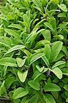 Sage Plants in a Garden