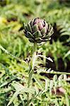 Artichoke Growing in Garden