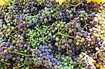 A harvest of unripe Zweigelt grapes for making verjus