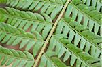 Detail of a male fern (Dryopteris filix-mas) leaf in spring, Styria, Austria