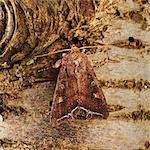 Beautiful golden Y moth (Autographa pulchrina).