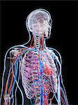 Male vascular system, computer artwork.