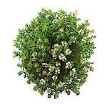 Thyme (Thymus vulgaris) plant.