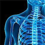 Shoulder bones, computer artwork.