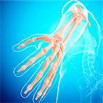 Human arm bones, computer artwork.