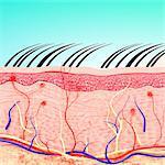 Human skin anatomy, computer artwork.