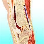Human knee anatomy, computer artwork.