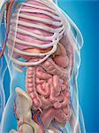 Human internal organs, computer artwork.
