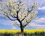 Fruit tree blossom and rape field in spring, Neidlinger Tal Valley, Swabian Alb, Baden Wurttemberg, Germany, Europe