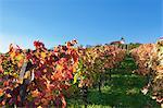 Vineyards at Michaelsberg Mountain with Michaelskirche Church, Cleebronn, Zabergau, Heilbronn District, Baden Wurttemberg, Germany, Europe