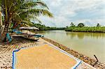 Rice drying by the Cijulang river in south coast district near Pangandara, Cijulang, West Java, Java, Indonesia, Southeast Asia, Asia