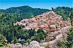 Yoshino, Japan cherry blossoms on the hillside.