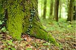 Close-up of Sweet Chestnut (Castanea sativa) Tree Trunk in Spring, Styria, Austria