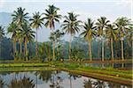 Palm trees and rice field near Borobodur, Kedu Plain, Java, Indonesia, Asia
