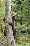 European Brown Bear (Ursus arctos arctos) Climbing Tree in Forest in Spring, Bavarian Forest National Park, Bavaria, Germany