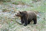 European Brown Bear (Ursus arctos arctos) in Forest in Spring, Bavarian Forest National Park, Bavaria, Germany