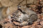 Close-up of European Wildcat (Felis silvestris silvestris) Kitten in Forest in Spring, Bavarian Forest National Park, Bavaria, Germany