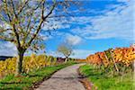 Road in Vineyard with Walnut Tree in Autumn, Centgrafenberg, Burgstadt, Untermain, Spessart, Franconia, Bavaria, Germany