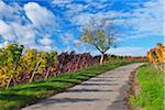 Road in Vineyard with Walnut Tree, Autumn, Centgrafenberg, Burgstadt, Untermain, Spessart, Franconia, Bavaria, Germany