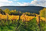 Vineyard in Autumn, Centgrafenberg, Burgstadt, Untermain, Spessart, Franconia, Bavaria, Germany