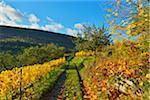 Path through Vineyard in Autumn, Centgrafenberg, Burgstadt, Untermain, Spessart, Franconia, Bavaria, Germany