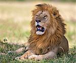Kenya, Masai Mara, Narok County. A battle-scarred lion with a fine mane in Masai Mara National Reserve.