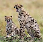 Kenya, Masai Mara, Narok County. Cheetahs yawn in unison.
