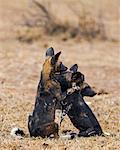 Kenya, Laikipia County, Laikipia. Two juvenile wild dogs in playful mood.