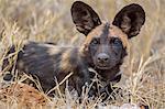 Kenya, Laikipia County, Laikipia.  A portrait of a juvenile wild dog.