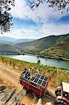 Grapes harvest along the Douro river, near Covelinhas. Alto Douro, a Unesco World Heritage Site, Portugal