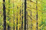 Larch trees forest in Autumn time. Serra da Estrela Nature Park, Portugal