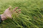 Man feeling wheat stalks
