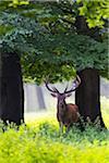 Portrait of red deer (Cervus elaphus) in summer, Germany, Europe