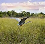 Great Blue Heron In Flight Over Wetland