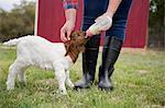 A girl bottle feeding a baby goat.