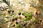 Semi-ripe olives on a sprig