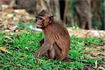 Monkey with ogressivnym expression. Cambodia