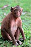 Monkey on green background. Cambodia