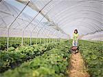 Worker pushing wheelbarrow of strawberries in fruit farm
