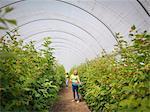 Workers picking raspberries in fruit farm