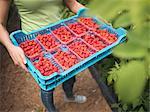 Worker holding tray of freshly picked raspberries in punnets on fruit farm