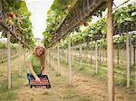 Worker picking strawberries in polytunnel on fruit farm