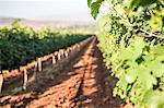 New growth in vineyard, Galilee, Israel