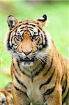 Close-up of Sumatran Tiger (Panthera tigris sumatrae) on Meadow in Summer, Zoo Augsburg, Swabia, Bavaria, Germany