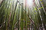 Detail of bamboo stems, Hana, Maui, Hawaii, USA
