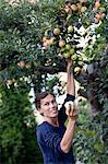 Mature woman picking apples, Stockholm, Sweden