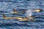 Orchas, Gerlache Strait, Antarctica, Polar Regions