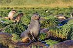 Antarctic fur seal (Arctocephalus gazella) on tussac grass in Gold Harbor, South Georgia, UK Overseas Protectorate, Polar Regions